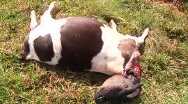 Bewoners Bonaireweg maken zich zorgen om tijger die hun koeien doodt...
